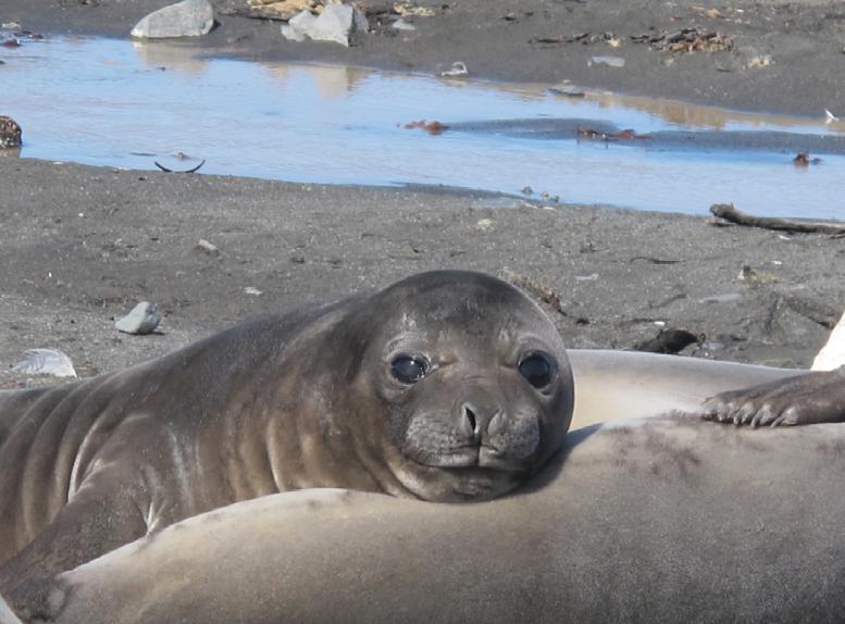 Baby Elephant Seal - Yacht Australis (Antarctic Peninsula) 2010