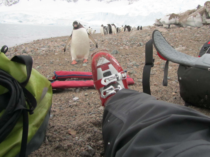 Gentoo checking us out - Ice Axe Antarctica Australis 2010